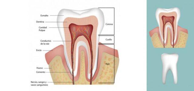 Estructura interna del diente