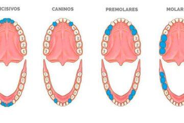 ¿Cuáles son los nombres de los dientes?