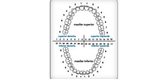 Divide la dentadura en cuatro arcadas