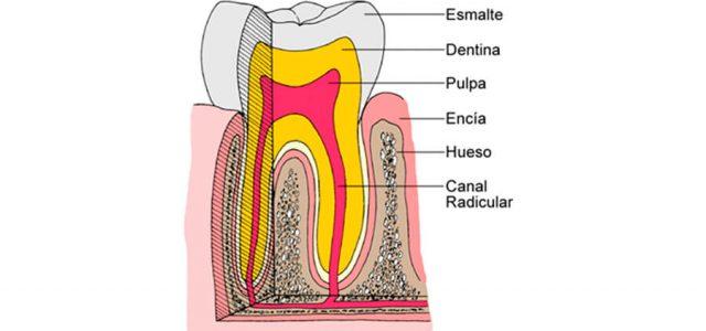 La pulpa dental está en el interior del diente