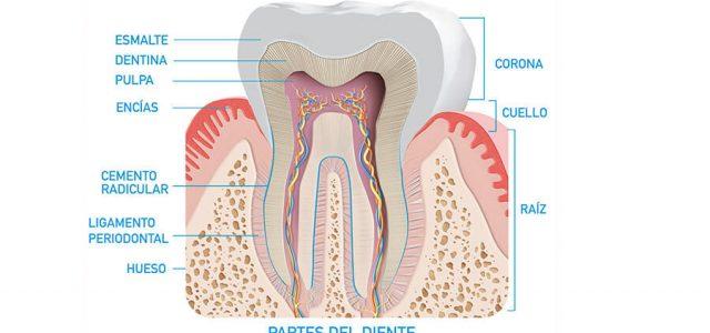 El diente se divide en varias partes