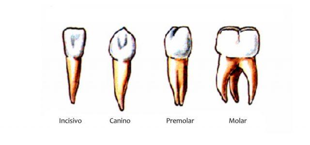 Nombres de las piezas dentales